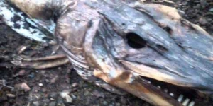 Strange deceased Pike like fish at Hollingworth Lake Near Rochdale