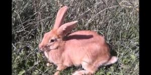 krolik, Oryctolagus cuniculus f. domesticus, Kaninchen, rabbit, кролик,