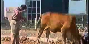 Hindu Indian's Drinking Cow Piss Urine! Shocking!