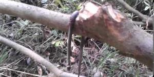 Ученые сомневаются в гибели Клеопатры от укуса змеи