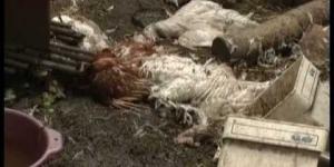 В садах Ленинского района чупакабра загрызла 10 кур